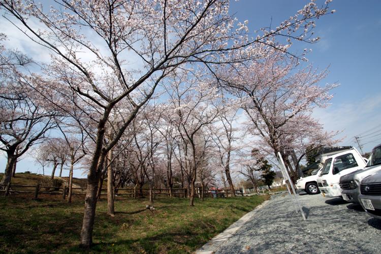 福島県南相馬市夜ノ森公園の桜です。