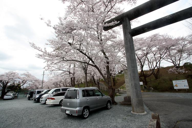 福島県南相馬市の夜ノ森公園の桜の駐車場