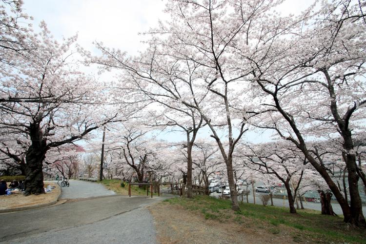 福島県南相馬市の夜ノ森公園の桜
